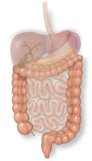Illustration of the colon in the intestinal system