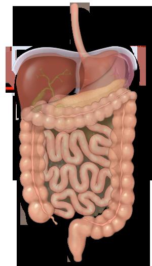 El colon y cómo sus bacterias ayuda a digerir los alimentos