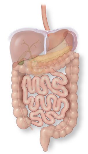 Illustration of the esophagus in the intestinal system