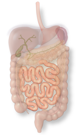 Illustration of the small intestine in the intestinal system