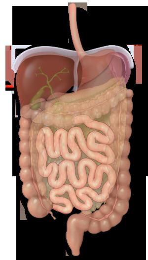 El intestino delgado y la digestión