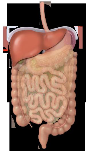 El papel del hígado en la digestión