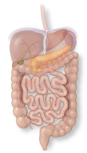 Illustration of the liver and its role in the digestive system