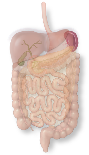 Illustration of the spleen in the intestinal system