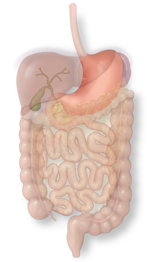 Illustration of the stomach in the intestinal system