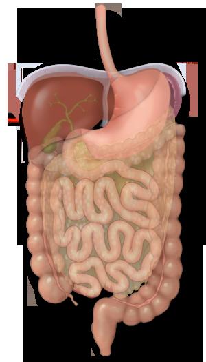 El estómago y su papel en la digestión